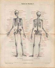 Lithografie 1890: Skelett des Menschen. Gewebe. Knochengerüst des Menschen.