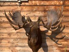 Huge Trophy Shoulder Mount Alaskan Bull Moose Real Antler Taxidermy Elk Deer M1