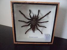 Taxidermy Real Tarantula spider arachnid Insect Entomology Zoology
