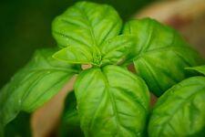 200 SAMEN BASILIKUM-MIX – dekorative Heil- und Gewürzpflanze 6 Sorten