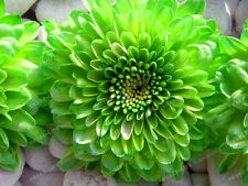 2pcs Green Dahlia Bulbs Flower,(Not Dahlia Seeds),Bonsai Flower Bulbs