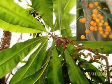 Clavija longifolia, Mongonbaum, Mongon, 10 Samen
