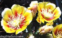 FROSTFEST  **Opuntia 516**  NEU  ! wird schön groß !  jetzt ---> 100 Samen