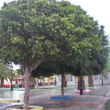 Weeping Fig Seed (Ficus benjamina) No Frost Very Large Tree