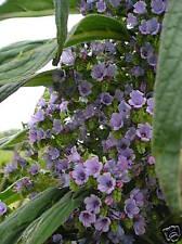 Echium Pinana ou Vipérine x 10 minis plants