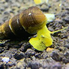 5 Baby Yellow Giant Sulawesi Rabbit Snail (Tylomelania Sarasinorum) Live Snail