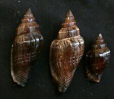 edspal shells- strombus urceus  23mm-39mm F+++, set of 3pcs. shells