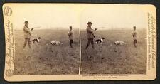 QUAIL SHOOTING IN THE STUBBLE HUNTING DOGS GUN BARKER STEREOVIEW PHOTO 1892