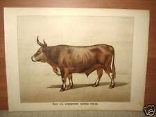 Antique Litho Print Ox Algerian Beef Breed Cattle