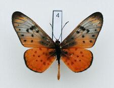 Nymphalidae - Acraea pseudegina - Westwood's Acraea - #4