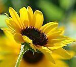 goodsunflower