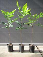 Pekannussbaum - Carya illinoinensis - Winterharte Pflanze 30-50cm - Pekannuss