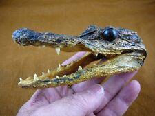 """G-Def-336) 4-1/8"""" Deformed Gator ALLIGATOR HEAD jaw teeth TAXIDERMY weird gators"""