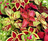 COLEUS RAINBOW MIX Solenostemon Scutellarioides - 1,000 Bulk Seeds