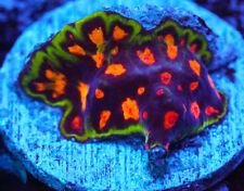 New listing Cornbred's Skittles Favia - Frag - Live Coral