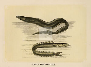 ANTIQUE Woodblock Natural History Print - Conger and Sand Eels #E853