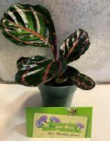 """Calathea Roseopicta - 4"""" Pot"""
