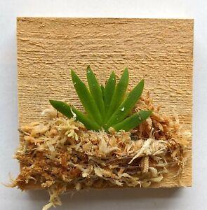 Miniature Orchid: Psygmorchis pusilla