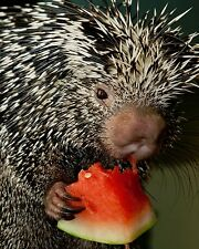 Porcupine / Porcupines 8 x 10 / 8x10 Glossy Photo Picture
