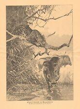 Africa, Leopard, Stalking Wild Boar, Vintage 1900 German Antique Print