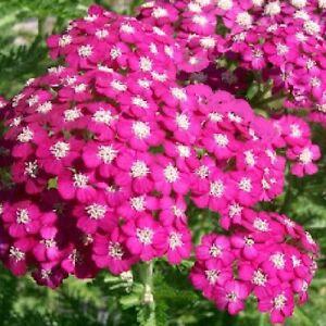 Achillea millefolium 'Cerise Queen' /  Yarrow / Hardy Perennial / 1500 seeds