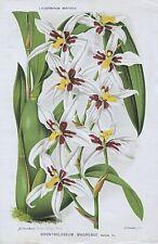 1883 ODONTOGLOSSUM MADRENSE Orchid Genuine Antique Botanical Print LINDEN