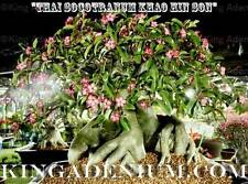 "ADENIUM THAI SOCOTRANUM  "" KHAO HIN SON "" 10 SEEDS FRESH RARE GREAT FOR BONSAI"