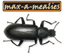 250 Darkling Beetles (Mealworm) Pnw - maxamealies - check my other listings