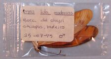 DRYAS IULIA MODERATA BEAUTIFUL SPECIMEN M Boca del Chajul, Chiapas, Mex