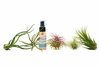 5 Tillandsia Air Plant Pack with Fertilizer Spray / 2-5 Inches Large