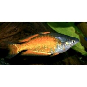 "Parkinsoni Rainbow 2-3"" Live Tropical Freshwater Aquarium Fish Tank"