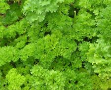 Parsley, Forest Green Heirloom Seeds - Fresh and Hand Packaged
