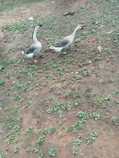 2 Fertile Chinese geese eggs