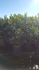 Oak Leaf Holly 3 gal Hedge Shrub Evergreen Plant Landscape