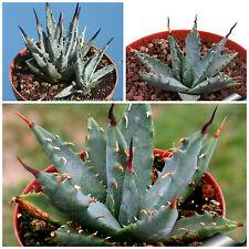 50 semillas de Agave utahensis nevadensis, plantas suculentas,seeds S