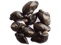 Grande Consoude - Symphytum Officinale - Comfrey - ( Engrais Vert - Gree - SEM05
