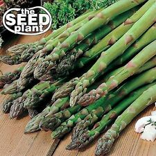 Mary Washington Asparagus Seeds -25 SEEDS-SAME DAY SHIPPING