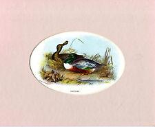 OVALE-montato Chromo Litho Bird Print-Coppia di spola-Wyman & Sons (c1870)