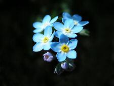150 Graines de MYOSOTIS Bleu (OREILLE DE SOURIS) / Fleur Annuelle