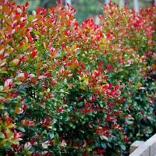 RESILIENCE LILLY PILLY Syzygium Aussie Southern native hedging plant 140mm pot