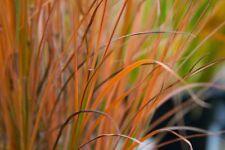 Schizachryrium scoparium 'Blaze' Little Bluestem native grass 0.5oz  600 Seeds