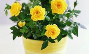"Nu Gold Miniature Rose Bush - Fragrant - 2.5"" Pot"