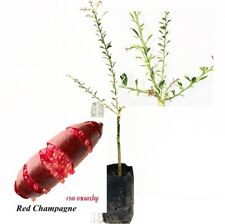 "Variegated Caviar lime Finger Lime ""Red Champagne""  Live grafted tree Very RARE"