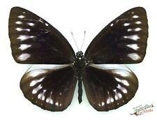 Glorieux Violet Crow Papillons Euploea Gloriosa Ensemble x1 Ts Un- Fm Sulawesi