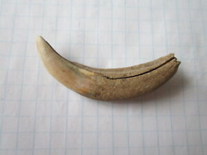 Ancient Viking amulet, pendant with a large wolf tooth IX - X AD.