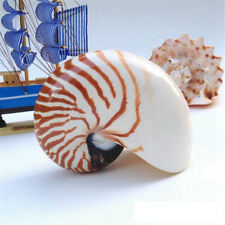 Home Decor Crafts Ornament Collectible Trumpet Snails Conch Natural Sea Shell