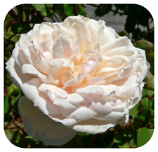 Climbing Rose Bare Root Plant 'Madame Alfred Carriere' Pearly White Roses