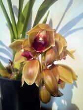 Cymbidium Black Blood illusione XL Giappone orchidee orchidee
