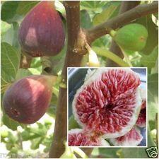 Fig 20 Seeds, Ficus carica, Fig Tree Seeds, Fruits Seeds, Plant Home Garden RARE