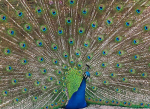 Peacock Photo Art Print Canvas (UK)